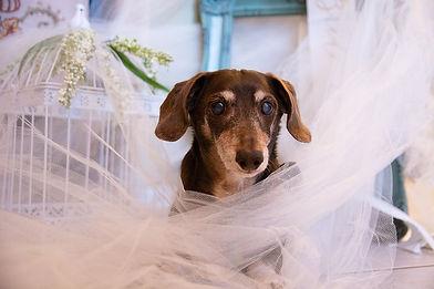 dachshund-6256951_1280.jpg
