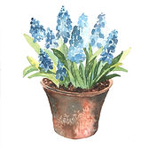 grape hyacinth.jpg