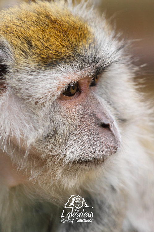 Nobby - Crab Eating Macaque (Postal, 1 Year)