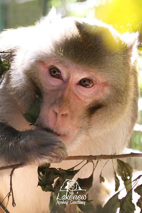 Kye - Rhesus Monkey (Digital, 1 Year)