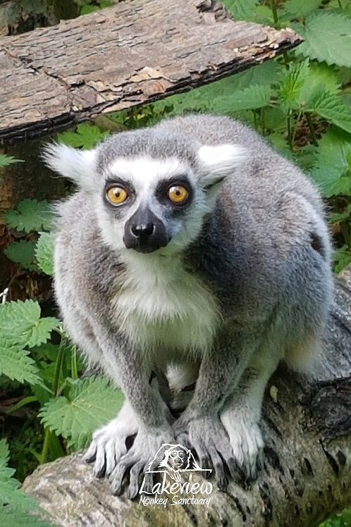 Ring Tailed Lemurs Bachelor Boys (Postal, 1 Year)