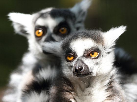 Ring Tailed Lemurs Lennon and Beattie (Postal, 1 Year)