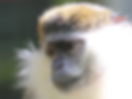 Monkey looking left.png