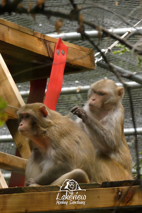 Rhesus Monkeys (Postal, 1 Year)