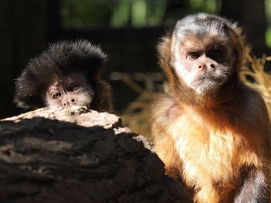 Capuchins (Postal, 1 Year)