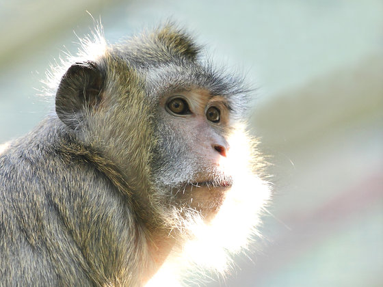Long Tailed Macaques (Postal, 1 Year)