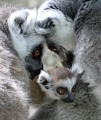 Ring Tailed Lemurs Family (Digital, 1 Year)