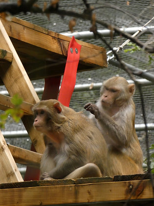 Rhesus Monkeys (Postal, 1 Year)