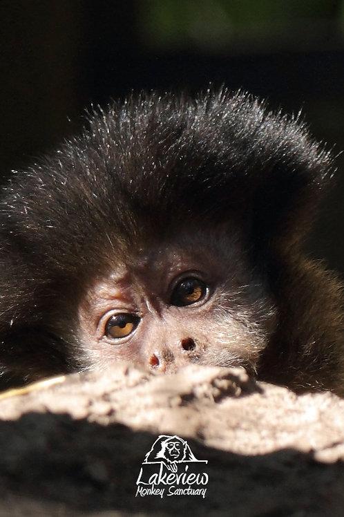 Gizzy - Capuchin (Postal, 1 Year)