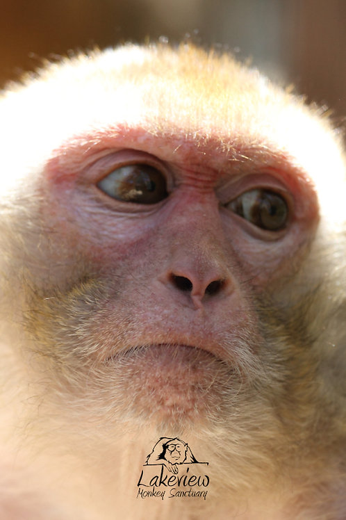 Crab Eating Macaques and Rhesus Monkeys (Postal, 1 Year)