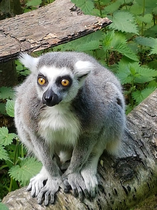 Ring Tailed Lemurs Bachelor Boys (Postal, 1 Year)