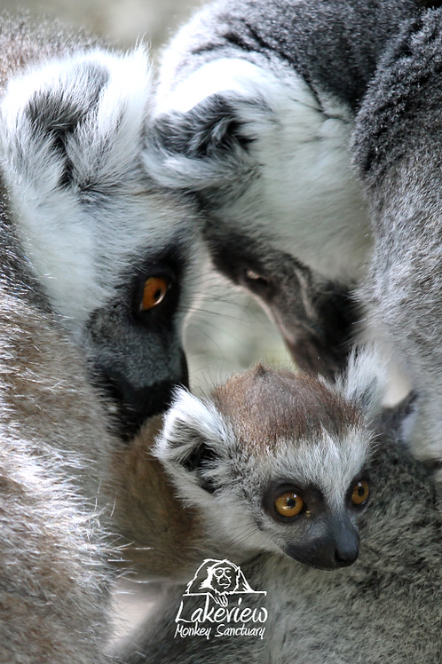 Ring Tailed Lemurs Family (Postal, 1 Year)