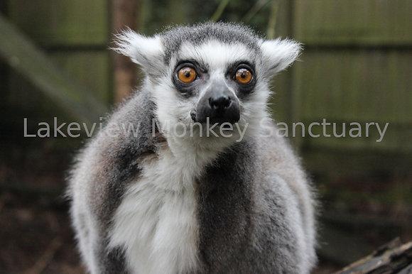 Ring Tailed Lemurs Bachelor Boys (Digital, 1 Year)