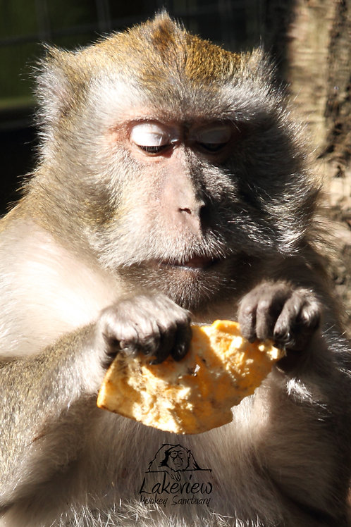 Crab Eating Macaques (Postal, 1 Year)
