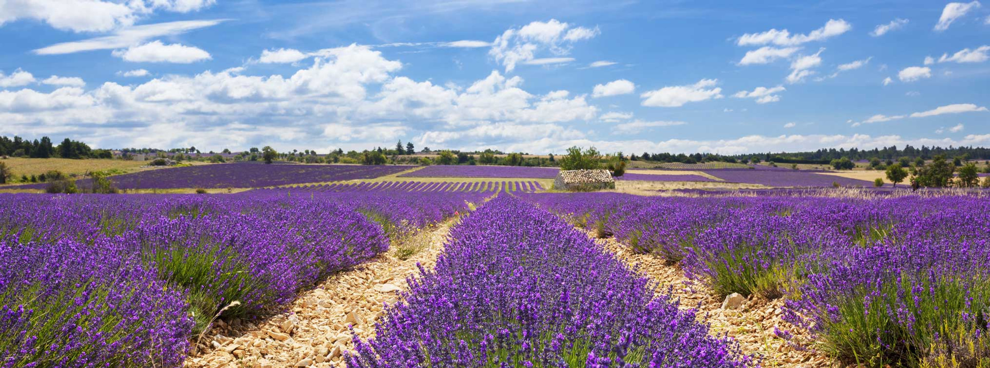 freepik-panoramic-view-lavender-field-cl