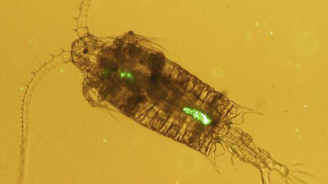 A microscopic view of a Zooplankton with Microplastic Particles in it's digestive system.