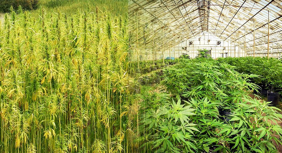 Side by side depiction of a Hemp field and Marijuana crop in a greenhouse showing the different appearance of the two plants.