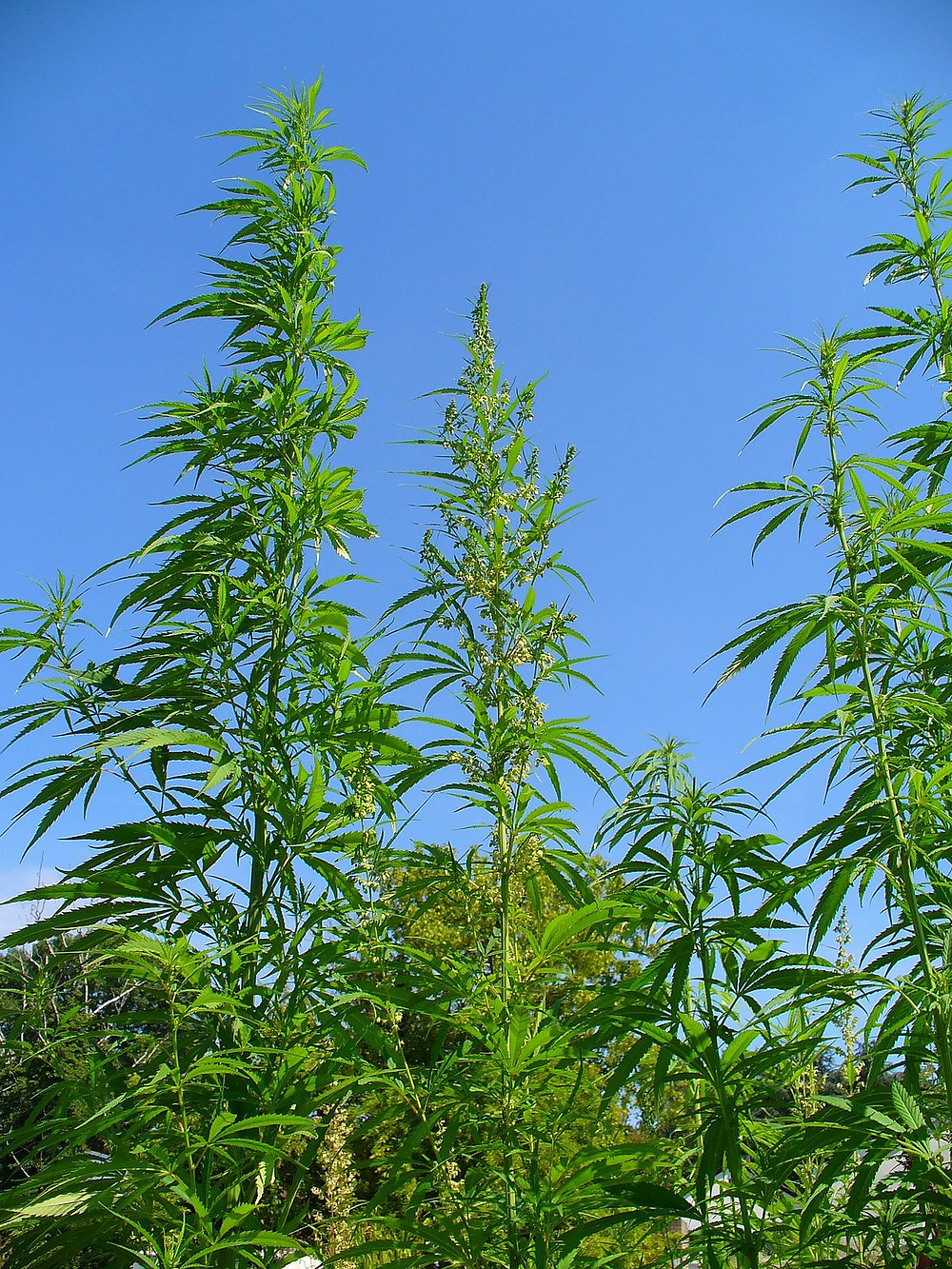 Hemp (Cannabis Sativa) is the source of Hemp Extracts like the Cannabinoid CBD.