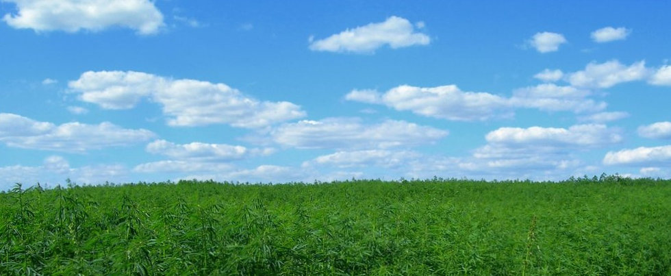 Hemp Field Horizon