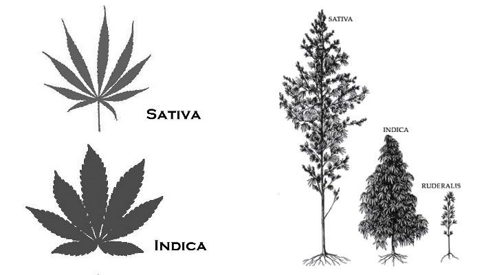 A picture showing the physical differences between a Hemp and a Marijuana plant.