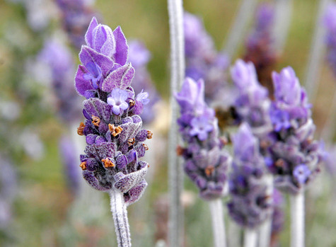 Medicinal Uses of Lavender: a TCM approach