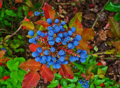 All About Oregon Grape