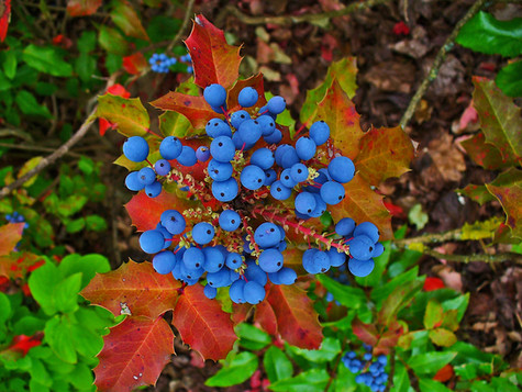 All About Oregon Grape