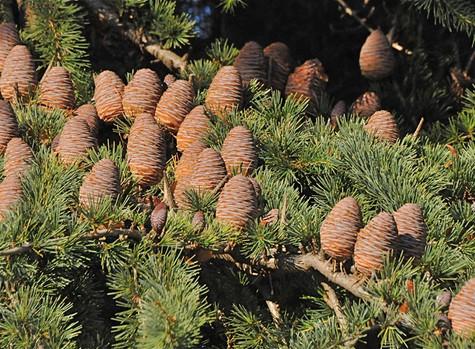 Pine Tree Medicine