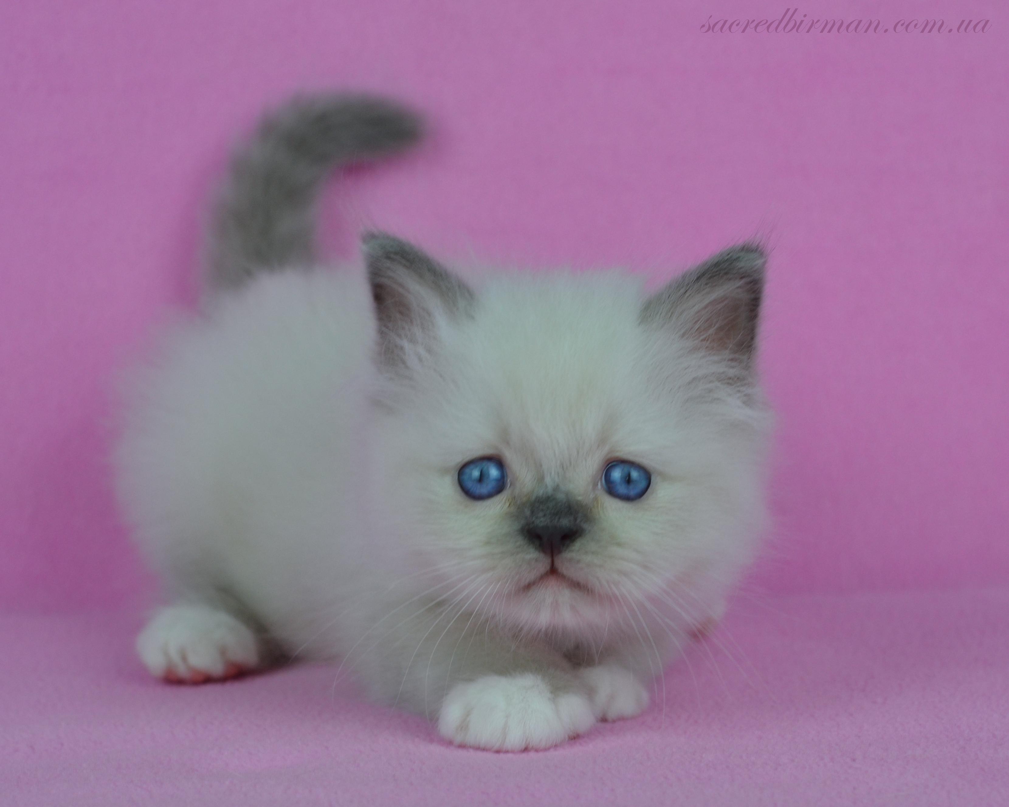 Tiny boy Kashemir