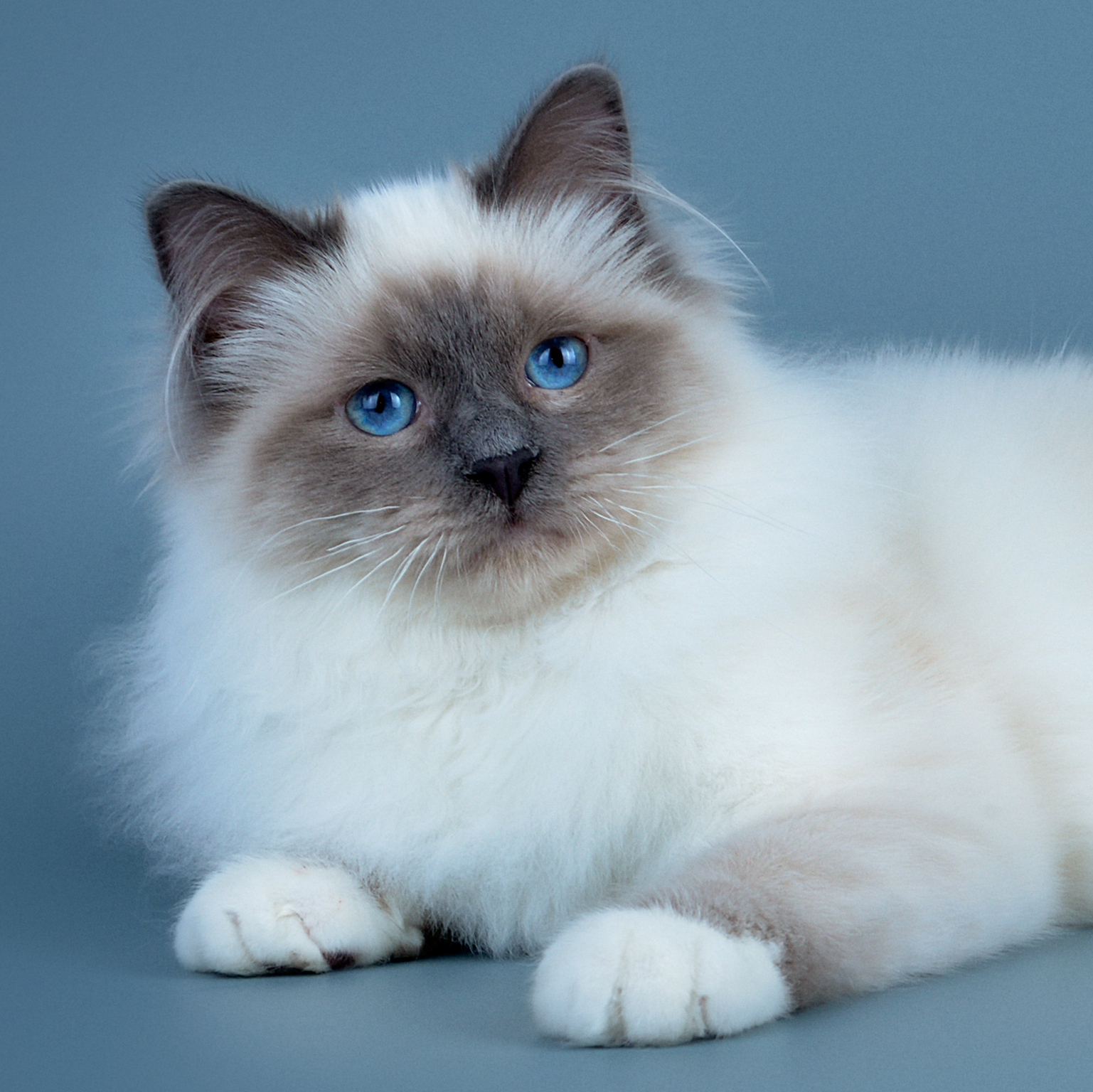 чем коты сибирская бирма платье