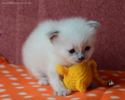 Жу-жу с вязаной мышкой