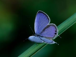 薩摩の珍蝶