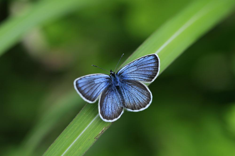 ミョウコウシジミ♂の青い個体(長野県小谷村)