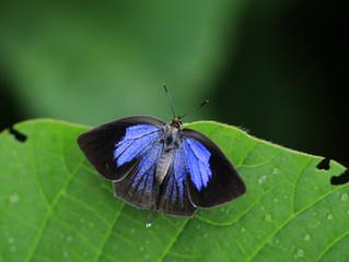 梅雨時の蝶たち
