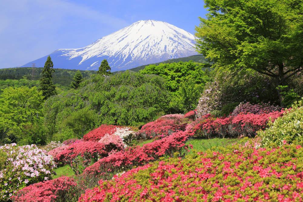 満開のツツジと富士山(静岡県小山町)