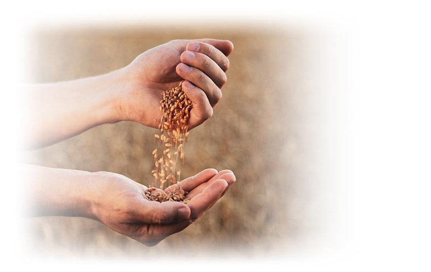 בחינת זרעים לכריות חימום למיקרוגל