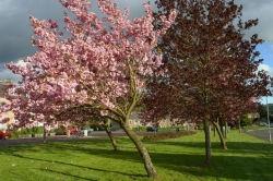 Cherry trees A68.jpg