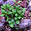 Thumbnail: Kabloom Starflower Seedbom