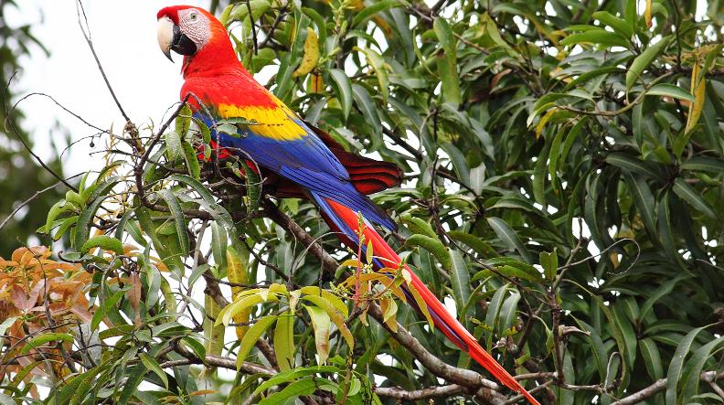 Scarlet-Macaw-Costa Rica.jpg