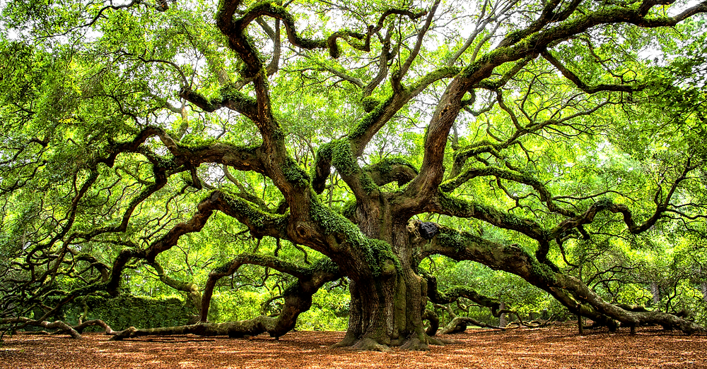 The Angel Oak Tree outside Charleston, SC is said to be up to 1,400 years old and the oldest of its kind east of the Mississippi River. It measures an astonishing 66.5 feet tall, 22.5 feet around, and has 17,200 square feet of shade!
