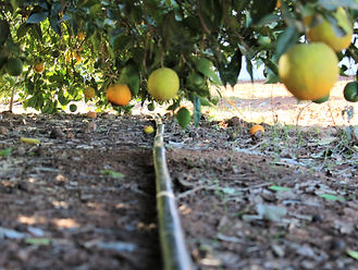 mac burge orange irrigation.jpg