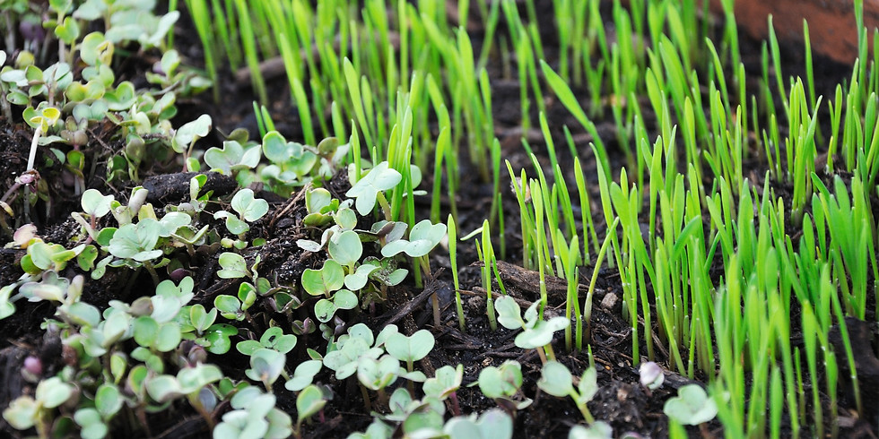 Countertop produce: Growing microgreens and sprouts