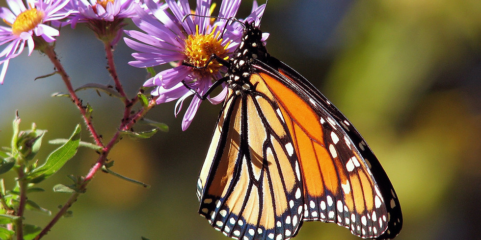 Family Time in the Garden: Monarchs