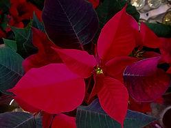 Weihnachtsstern Weihnachten Advent Blumen Gunskirchen Blumengeschäft Wildblüte