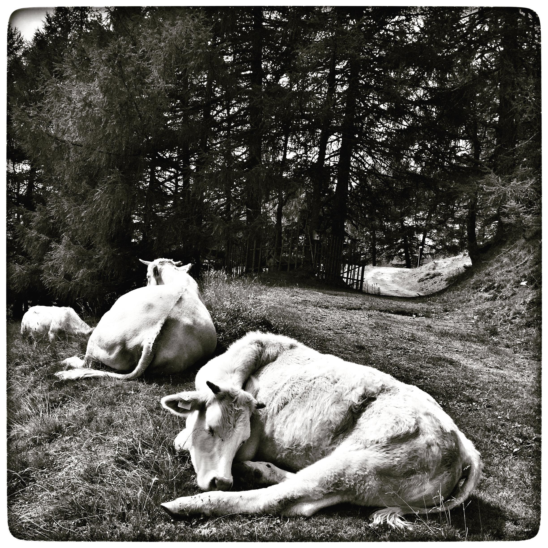 cows#