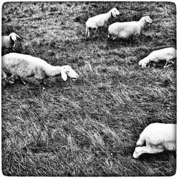 sheeps#
