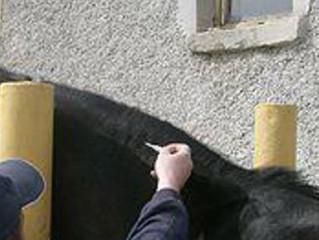 Чипирование лошадей: это удобно!