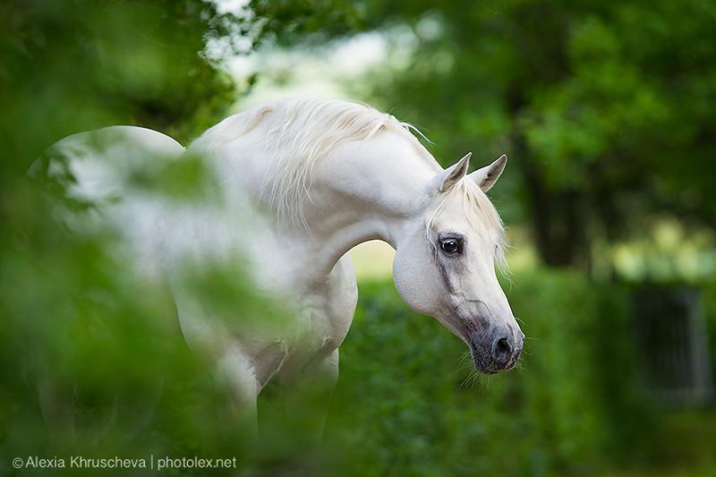 хобл арабские лошади
