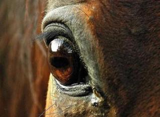 Вечер в Тельгте. Абсцесс над глазом пони.