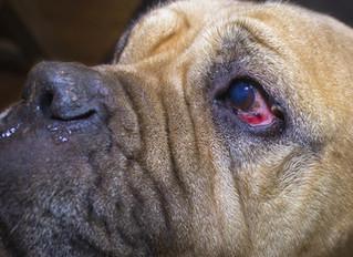 Кератит у собаки. На сколько это опасно?